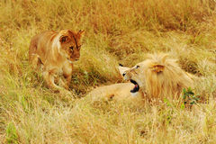Masai Mara Lions Stock Photos