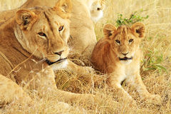 Masai Mara Lions. A lion (Panthera leo) with cub on the Masai Mara National Reserve safari in southwestern Kenya stock photography