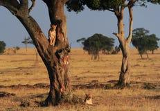 Masai Mara Lions Imagem de Stock Royalty Free