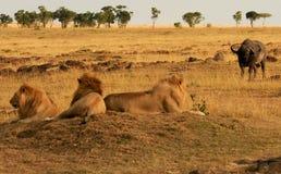 Masai Mara Lions Stock Foto