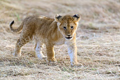 Masai Mara Lions imagen de archivo libre de regalías