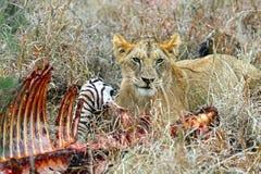 Masai Mara Lions fotografía de archivo libre de regalías