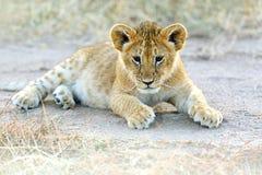 Masai Mara Lions Stock Photo