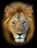 Masai Mara Lions royalty free stock image