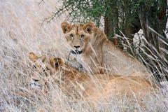 Masai Mara Lions royalty free stock photos