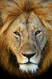 Masai Mara Lions Stock Images
