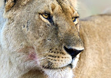 Masai Mara lwy obraz stock
