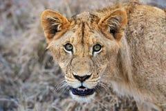 Masai Mara lwy zdjęcia royalty free