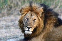 Masai Mara lwy zdjęcia stock