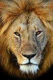 Masai Mara lwy obrazy stock