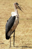 Masai Mara marabuta bocian Zdjęcie Stock
