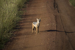 The Masai Mara national reserve in Kenya Royalty Free Stock Photo