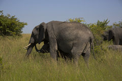 The Masai Mara national reserve in Kenya Royalty Free Stock Photography
