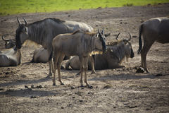 The Masai Mara national reserve in Kenya Stock Image