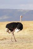 Masai Mara Ostrich. A ostrich (Struthio camelus) on the Masai Mara National Reserve safari in southwestern Kenya Stock Photo