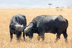 Masai Mara przylądka bizon Fotografia Stock