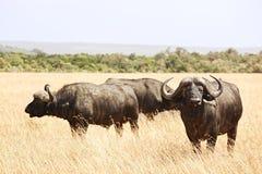 Masai Mara przylądka bizon Zdjęcie Stock