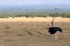 Masai Mara Reserve Kenya Africa d'autruche Images libres de droits