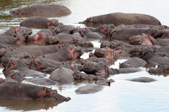 Masai Mara Reserve Kenya Africa del hipopótamo Foto de archivo