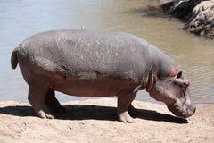 Masai Mara Reserve Kenya Africa del hipopótamo Fotografía de archivo libre de regalías