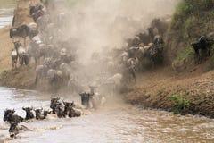 Masai Mara river crossing. Herds crossing the Masai Mara river, Kenya Stock Image