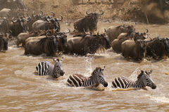Masai Mara river crossing. Gnu and zebra crossing the Masai Mara river, Kenya Stock Photography