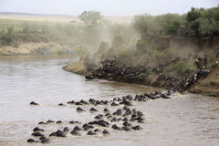 Masai Mara river crossing. Herds crossing the Masai Mara river, Kenya Stock Photo