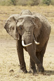 Masai Mara słoń Obraz Royalty Free