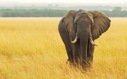 Masai Mara słoń Fotografia Stock