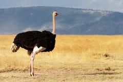 Masai Mara struś Zdjęcia Royalty Free