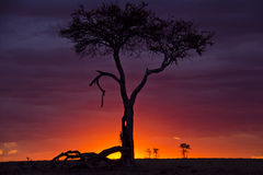 Masai mara sunset. This photo was taken at last light whilst I was on safari in the Masai Mara Royalty Free Stock Photo
