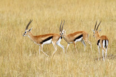 Masai Mara Thomson's Gazelles Stock Images