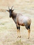 Masai Mara Topi Royalty Free Stock Photography