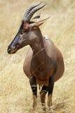 Masai Mara Topi Royalty Free Stock Image