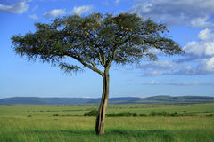 Masai Mara tree. Singular tree in the Masai Mara National Reserve, Kenya, Africa Stock Images