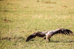 Masai Mara Volturein Стоковое фото RF