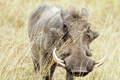 Masai Mara Warthog Immagine Stock Libera da Diritti