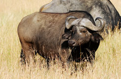 Masai Mara Water Buffalo Stock Foto's
