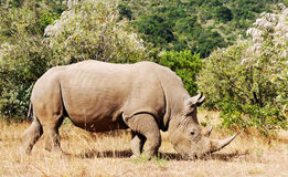 Masai Mara White Rhinoceros. White Rhinoceros or Square-lipped rhinoceros (Ceratotherium simum) near the Masai Mara National Reserve southwestern Kenya Stock Images