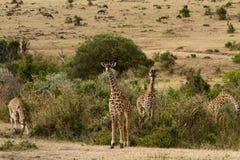 Masai mara wild life Stock Photos