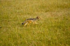 Masai mara wild life Stock Image