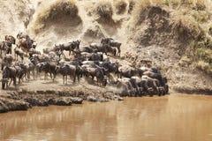 Masai Mara Wildebeast Imágenes de archivo libres de regalías