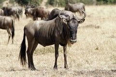 Masai Mara Wildebeest Fotografia Stock Libera da Diritti