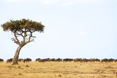 Masai Mara Wildebeest Royalty Free Stock Photos