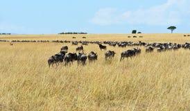 Masai Mara wildebeest Stock Images