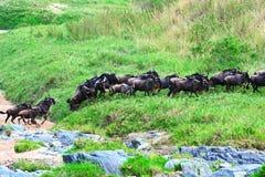 Masai Mara wildebeest Royalty Free Stock Image