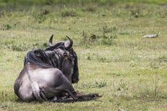 Masai Mara wildebeest migration in Tanzania, Africa. Stock Images