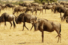 Masai Mara Wildebeests Obraz Royalty Free
