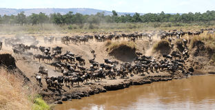 Masai Mara Wildebeests Royalty Free Stock Images