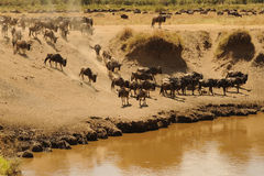Masai Mara Wildebeests Stock Photo
